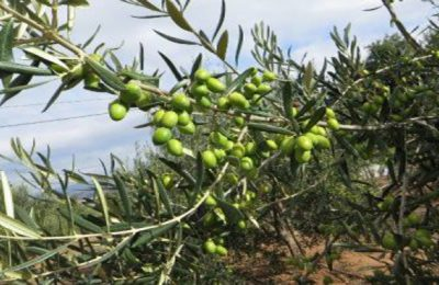 olive oil business