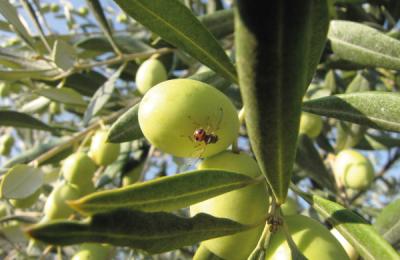 ذبابة الزيتون (Bactrocera oleae) تجتاح اسبانيا وتهدد الصابة