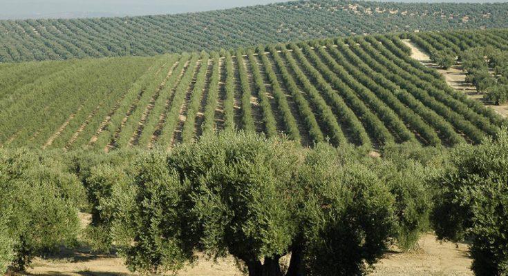 تهددها نقص المياه:مزارع الزيتون في Jaén الإسبانية تواجه موسما سيئا